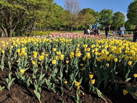 Major's Hill Park: Tulips