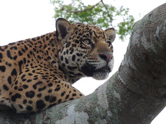 Pantanal Safaris: Jaguar