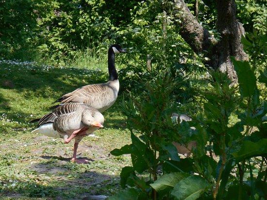 Whisperboat Zutphen: Geese on the shoreline.