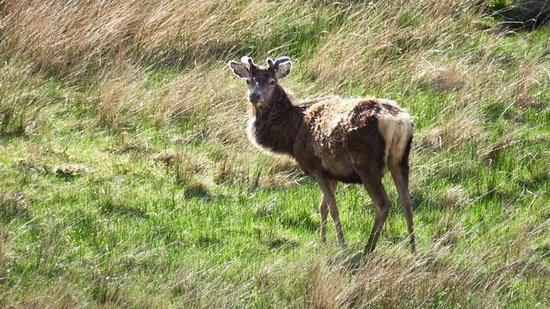 Newtonmore, UK: cervi durante il nostro tragitto