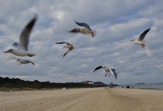 Seebad Ahlbeck, Niemcy: Möven am Strand bei Ahlbeck auf Usedom