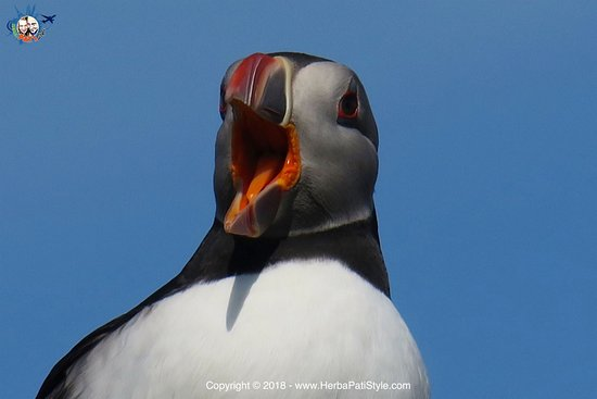 Osprey of Anstruther Day Tours: Puffin