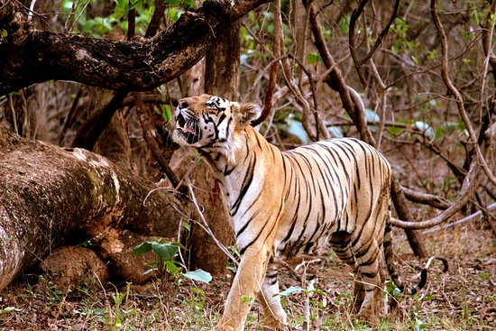Chandrapur District, Indie: Matka Sur, father of Maya's cubs