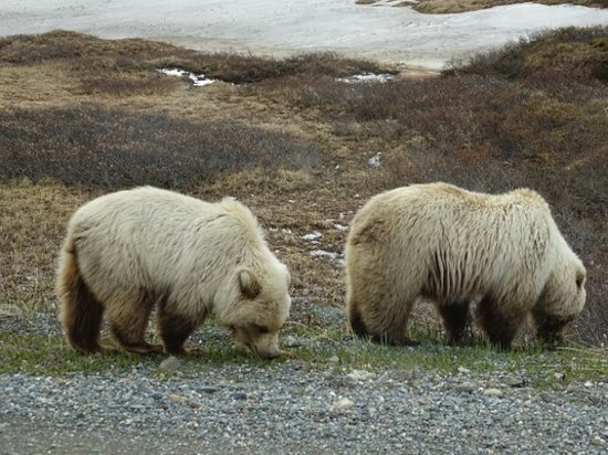 Tundra Wilderness Tour : Bears