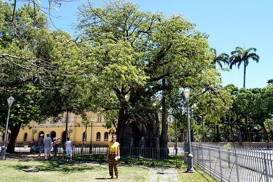 Arvore Baoba