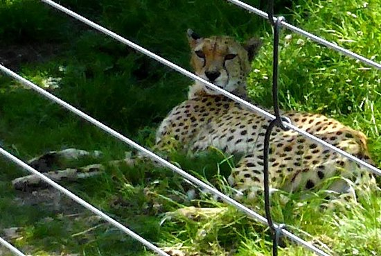 Lympne, UK: A leopard taking advantage of the cool grass in the shade right next to the safari route