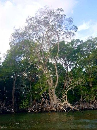 Isla Fuerte, Κολομβία: beautiful tree seen from kayak