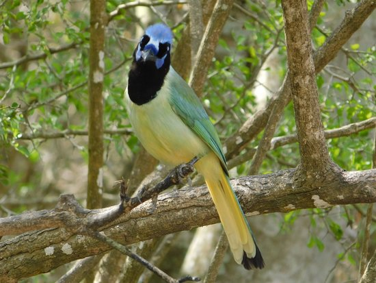 Pantai Teluk Texas, TX: lovely Mr. Green Jay