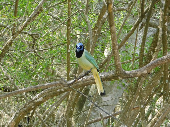 Texas Gulf Coast, TX: green jay