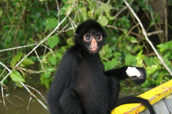 Nauta, Peru: Spider monkey