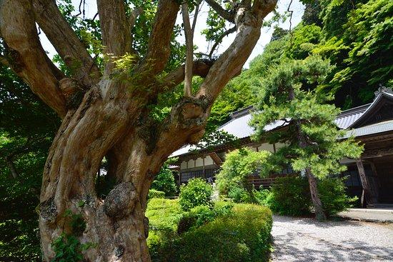 Unganji Temple: 古木の向こうに本堂