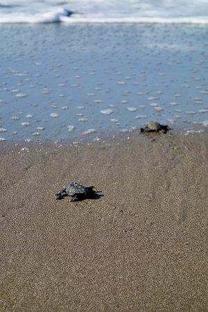 Poneloya, Nicarágua: Turtle release!!!