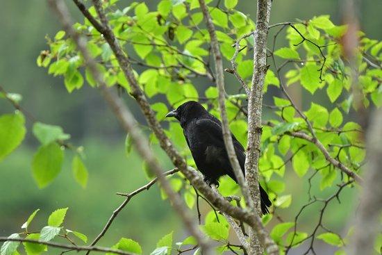 Shrine of St. Therese: one of the many, many, many ravens