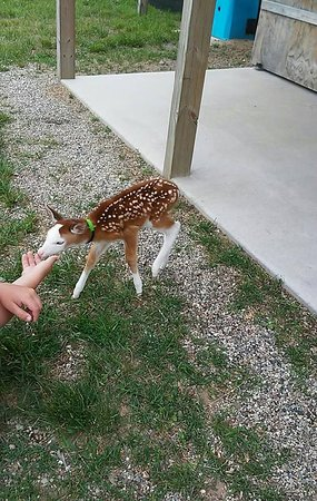 Cedar Springs, MI: Petting the piebald fawn
