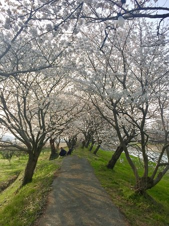 Sakura Trees along Nagare River
