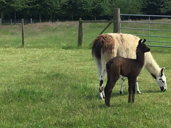Catanger Llamas: Two week old baby with mom
