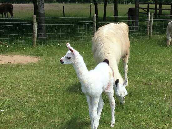 Catanger Llamas: Baby 48 hours old