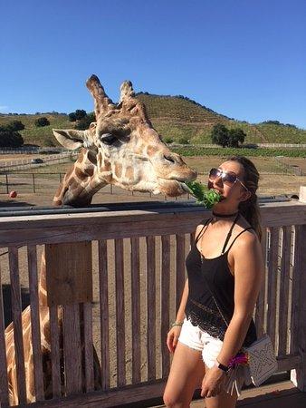 Malibu Countryside Wine Hike: Eating with Stanley the giraffe!