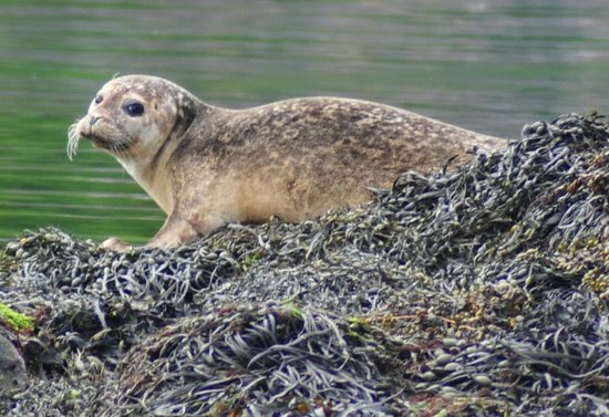 Ellenabeich, UK: common seal