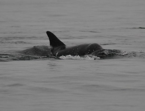Ellenabeich, UK: bottlenose dolphin