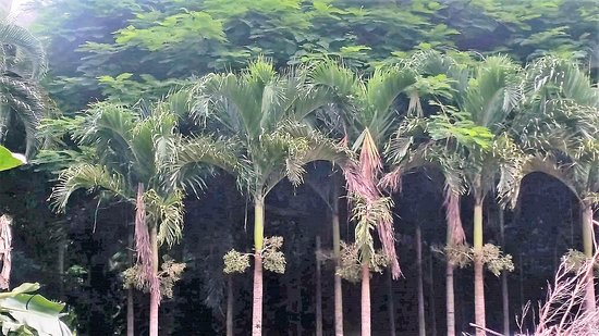 Maire Nui Botanical Gardens: Wow what a canopy