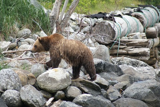 Tide Rip Grizzly Tours: Wet Grizzly after a swim ...
