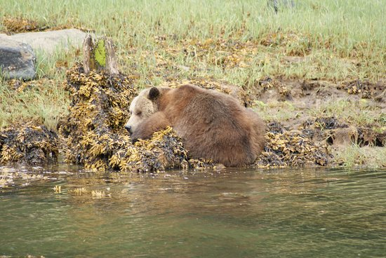Tide Rip Grizzly Tours: VERY lazy grizzly!