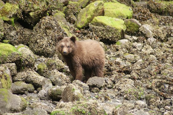 Tide Rip Grizzly Tours: One of Freya's 2017-cubs