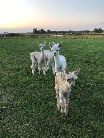 Hasselbring's Harmony Alpaca Ranch