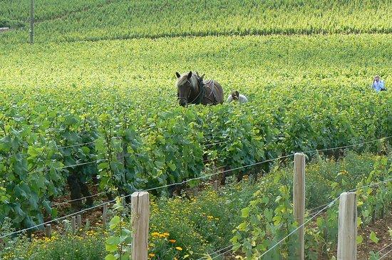 Beaune, فرنسا: Cheval aux Vignes - Dans le Vignoble de Bourgogne, la Côte de Beaune