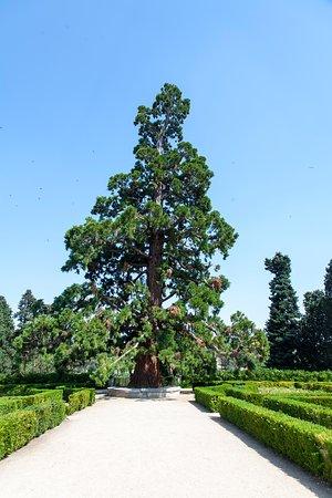 El Pardo, Spain: Aspecto de una imponente Sequoya
