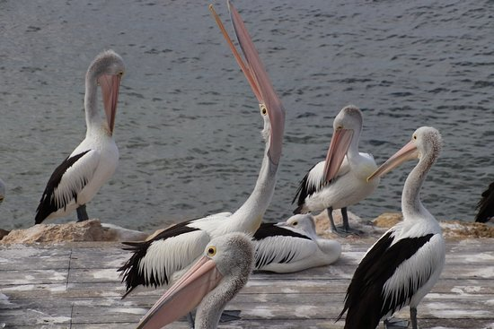 Kingscote, Australia: We were very close to the pelicans