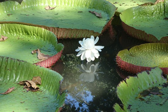 Seerosenteich Picture Of Ssr Botanic Garden Pamplemousses