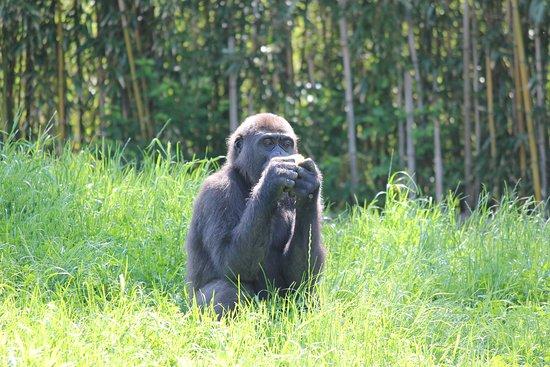 Pittsburgh Zoo & PPG Aquarium: gorilla