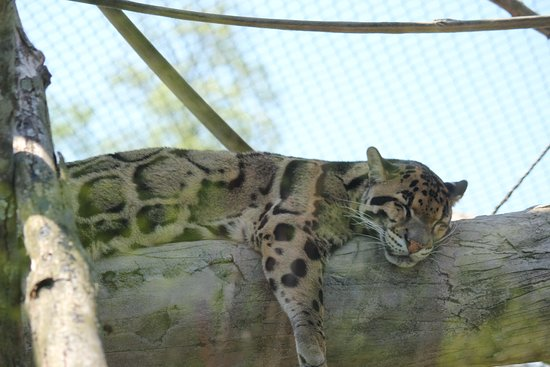 Pittsburgh Zoo & PPG Aquarium: Clouded leopard taking a snooze