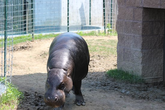 Pittsburgh Zoo & PPG Aquarium: Pygmy hippo