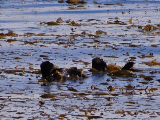 Monterey Bay Inn: Sea otters playing in ocean right beneath Room 214 balcony.