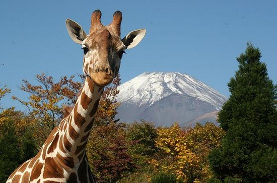 Day trip to Fuji Safari Park & Grape...