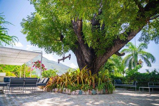 Hotel Montana Haiti: Bicentenary Mahogany tree