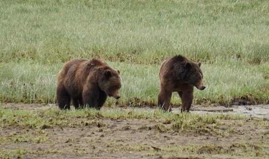 Tide Rip Grizzly Tours: Courting grizzly bears in Glendale Cove, Knight Inlet