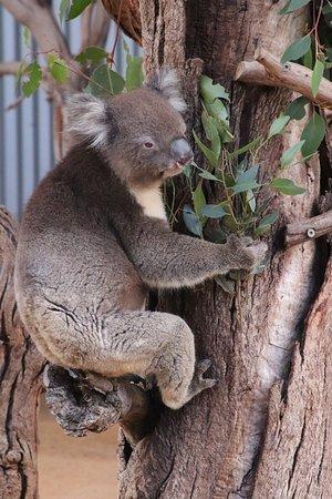 Seddon, Avustralya: A koala