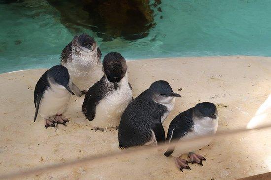 Seddon, Avustralya: Little pinguins