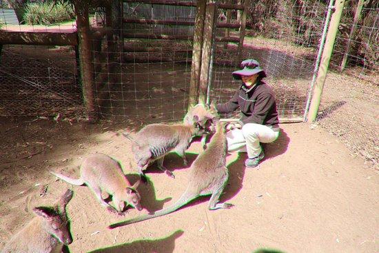 Seddon, أستراليا: Wallabies