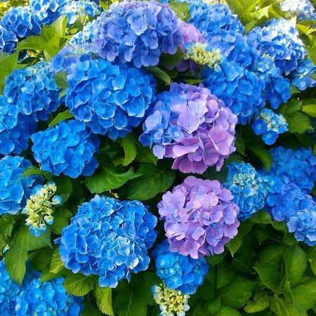 6月は紫陽花!