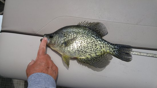 Woodland Resort on Lake Miltona: 1 of many large crappie caught this vacation!