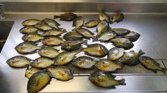 Woodland Resort on Lake Miltona: Bluegill & sunfish!