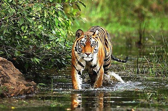 3 dager Bandhavgarh Tiger Safari