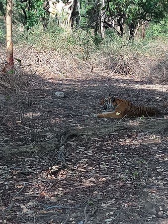 Jim Corbett Cab: Thrilling experience seeing Tiger without fence