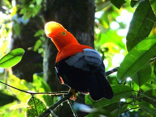 Viendo Aves en Cubarral (Gallito de Roca