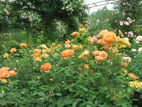 Morienval, Frankrike: au paradis de la rose...